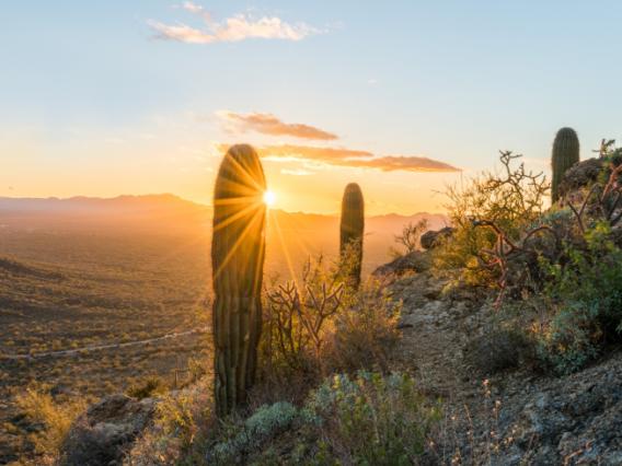 Landscape with saguaro cacti at sunset